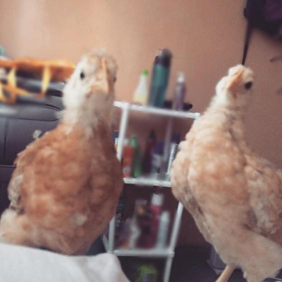 Curious pollitos